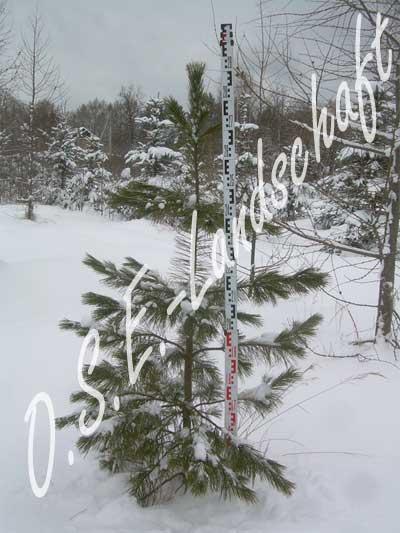 Корейский кедр: Описание дерева кедр сибирский